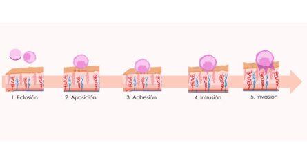 fases implantación embrionaria